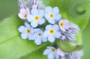 forget-me-not_product-shot
